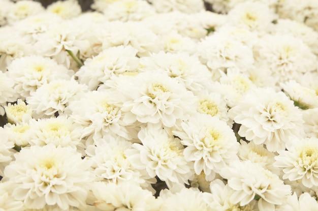 Il bello fondo del dente di leone, fiori bianchi sta fiorendo nel giardino. Foto Premium