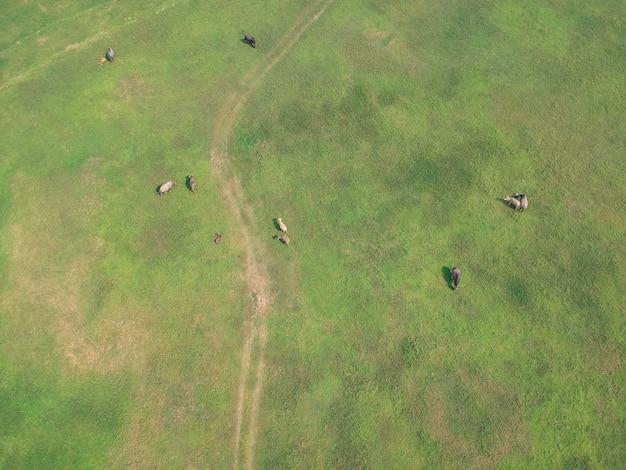Il bufalo nei campi di erba verde lungo il fiume in campagna. Foto Premium