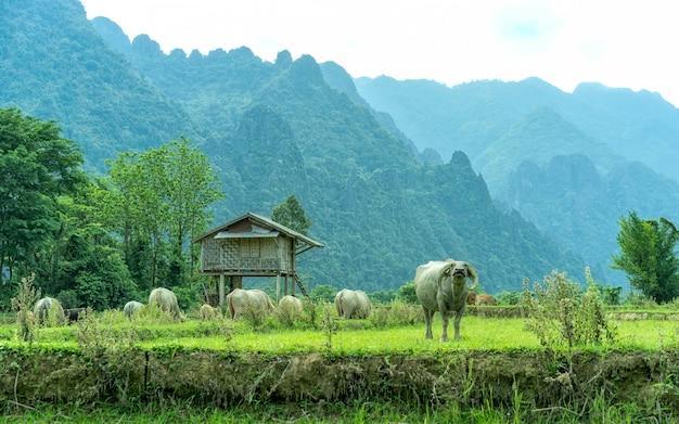 Il bufalo nel campo e la vera bellezza dello stile di vita del villaggio Foto Premium