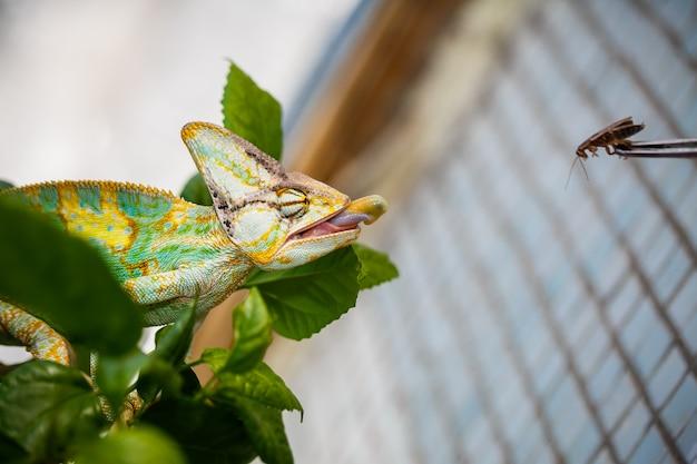 Il camaleonte dello yemen è seduto sul ramo e sta dando la caccia allo scarafaggio Foto Premium