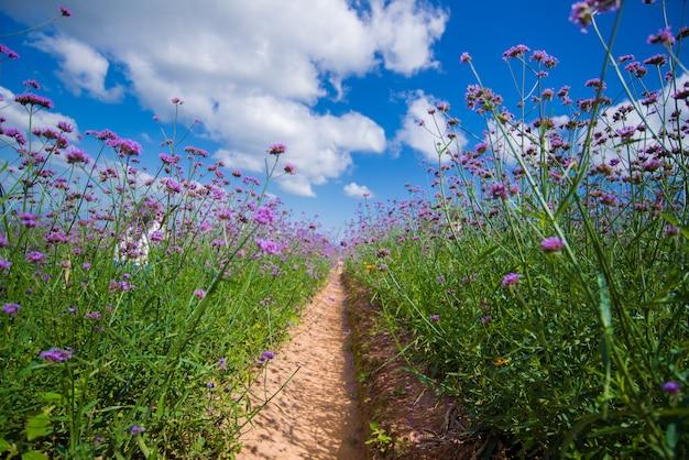 Il campo viola del fiore della verbena con cielo blu. Foto Premium