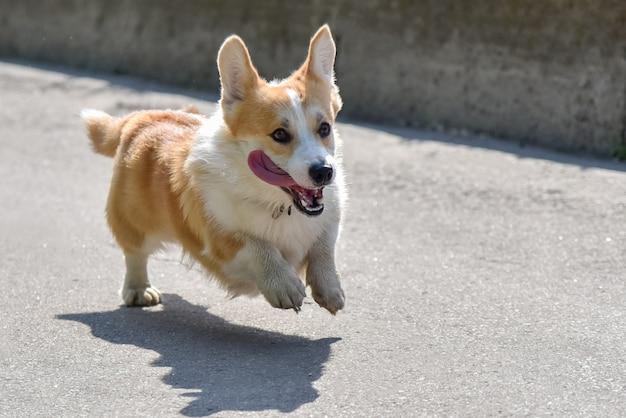Il cane alleva il corgi scappa a passeggio Foto Premium