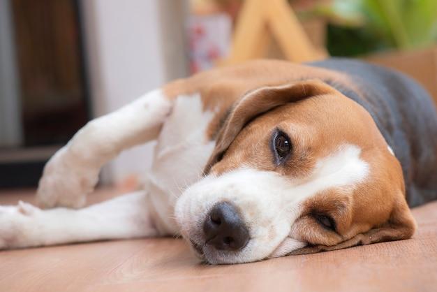 Il cane beagle dorme e guarda con una vista piacevole Foto Premium