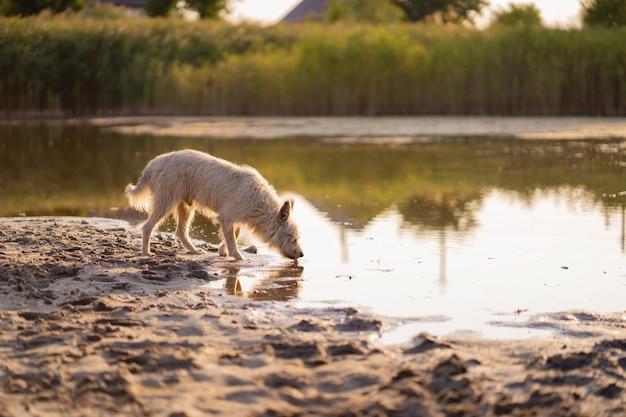 Il cane beve l'acqua da un lago al tramonto Foto Premium