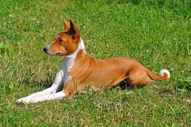 Il cane rosso di basenji sta sedendosi sull'erba verde Foto Premium