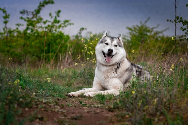 Il cane sta trovandosi sull'erba. ritratto di un husky siberiano. avvicinamento. riposando con un cane in natura. paesaggio con un fiume. Foto Premium