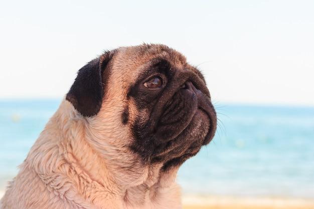 Il cane triste del carlino si siede sulla spiaggia e esamina il mare. Foto Premium