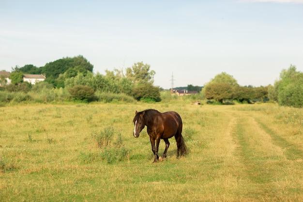 Il cavallo marrone cammina in pascolo in estate Foto Premium