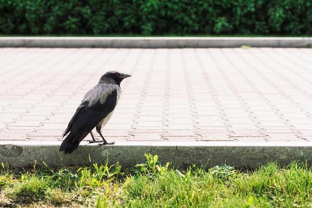 Il corvo nero cammina sul bordo vicino al marciapiede grigio Foto Premium