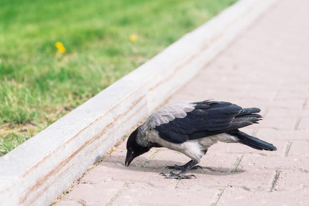 Il corvo nero cammina sul marciapiede grigio vicino al confine Foto Premium