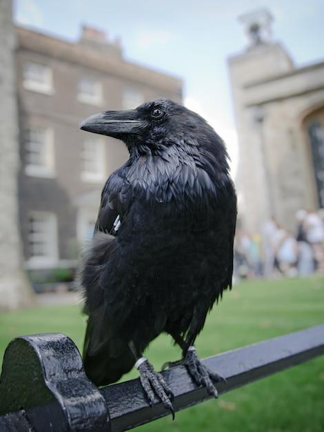 Il corvo nero si siede su un recinto nella torre di londra, regno unito Foto Premium