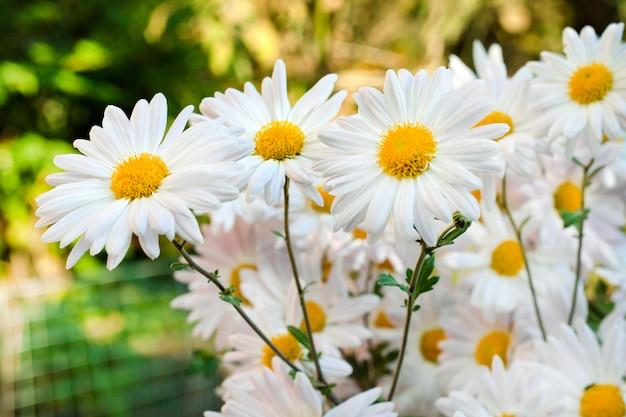 Il crisantemo bianco della camomilla fiorisce il primo piano Foto Premium