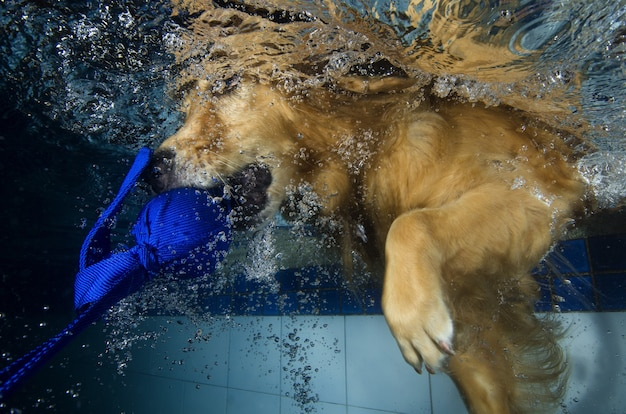 Il cucciolo allegro di golden retriever nella piscina si diverte Foto Premium