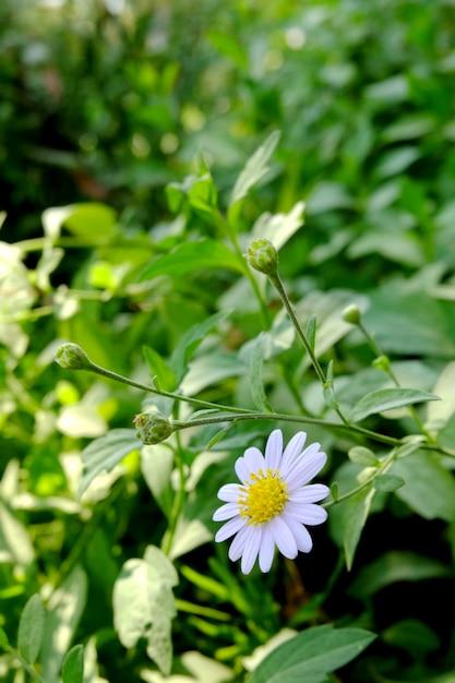 Fiori Bianchi Tipo Margherita.Il Fiore Della Margherita Bianca Fiore Del Fiore Bianco Fiori