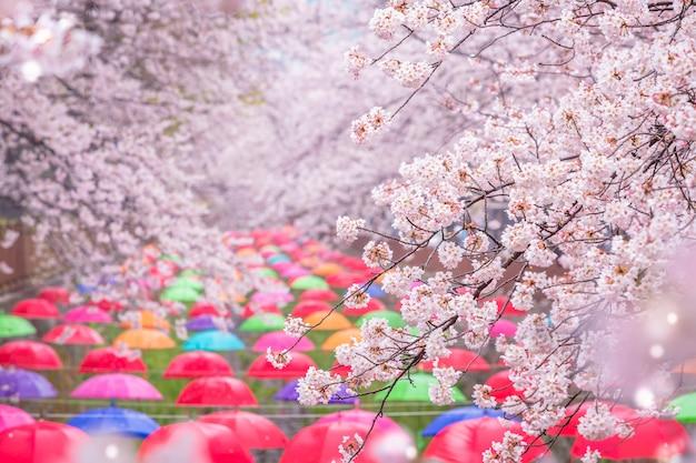 Il fiore di ciliegio in primavera in corea è il famoso punto di osservazione dei fiori di ciliegio, jinhae corea del sud. Foto Premium