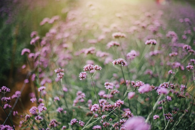 Il fiore di verbena in colore viola Foto Premium