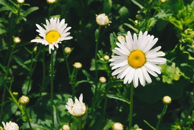 Fiori Bianchi Con Pistillo Giallo.Il Fiore Romantico Sveglio Della Margherita Con Polline Giallo