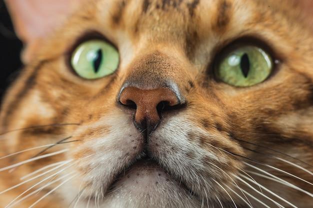 Il gatto del bengala d'oro sul muro nero Foto Gratuite