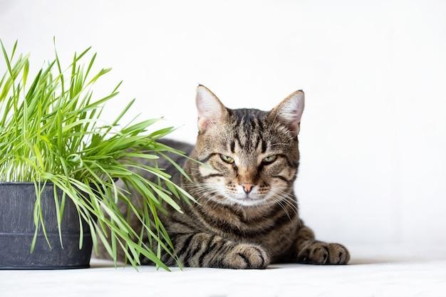 Il gatto di soriano si trova vicino all'erba verde fresca. erba di gatto. cibo utile per animali Foto Premium