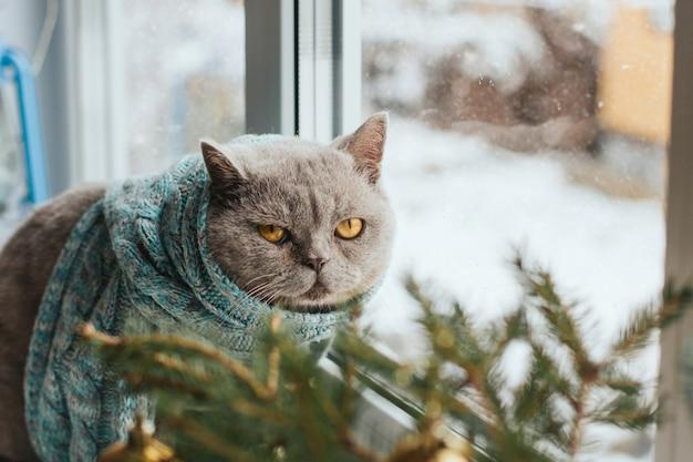 Il gatto grigio in una sciarpa lavorata a maglia blu si siede su un davanzale Foto Premium