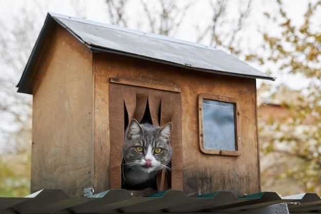 Il gatto grigio si siede nella sua casa di legno, sporgendo la testa e leccandosi le labbra Foto Premium