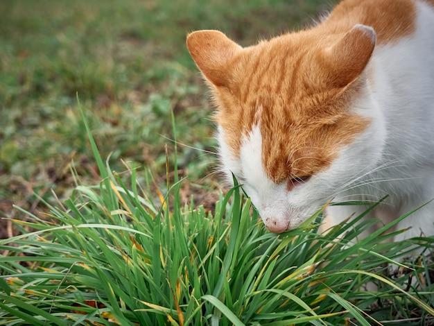 Il gatto rosso mangia l'erba verde. Foto Premium