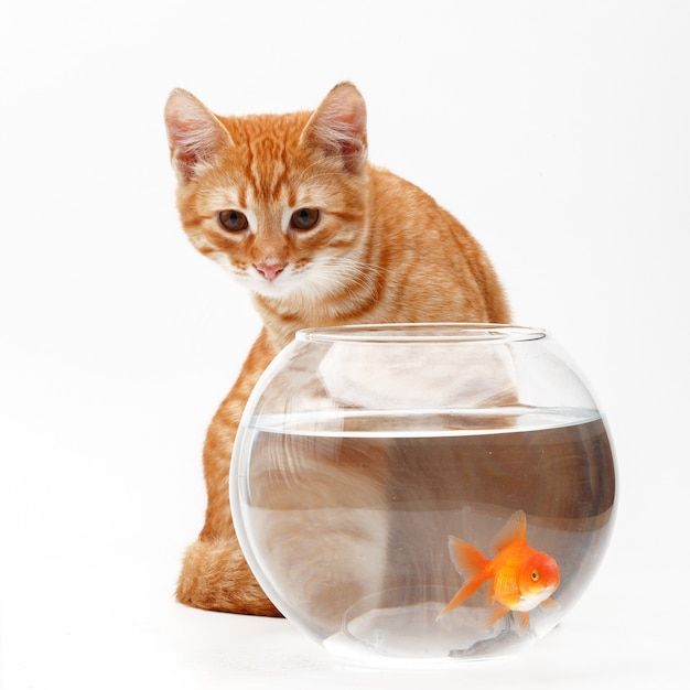 Il gatto rosso sveglio gioca con un pesce decorativo dell'oro in un acquario rotondo. Foto Premium