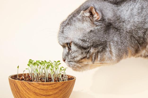 Il gatto scottish fold annusa microgreens germogliati. germinazione dei semi in casa. il concetto di verde per gli animali. germogli in crescita, superfood. Foto Premium