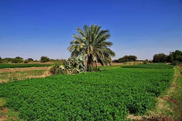 Il giardino nel piccolo villaggio sul fiume nilo, khartum, sudan Foto Premium