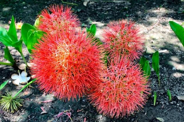 Il giglio di polvere, il fiore di sangue o il fiore di palla di fuoco sono belli. (nome scientificohaemanthus multiflorus). Foto Premium