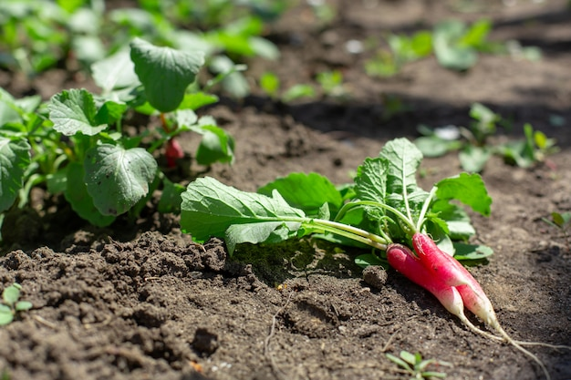 Il giovane ravanello fresco scavato si trova sulla terra in un orto. Foto Premium