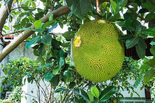 Il grande albero di ananas è stato perforato e distrutto sono buchi di uccelli e insetti nel giardino. Foto Premium