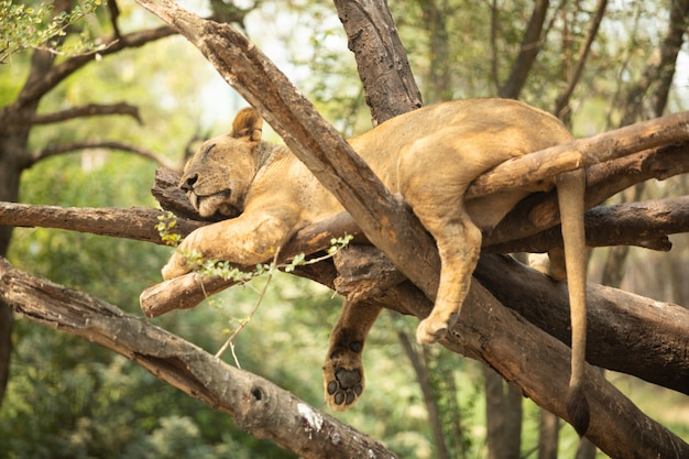 Il leone dorme sull'albero Foto Premium
