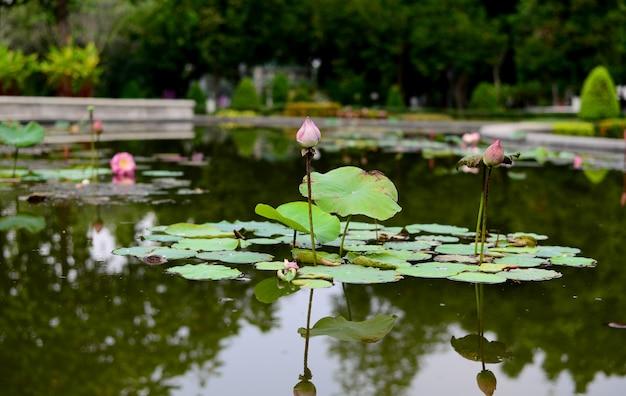 Il loto rosa con foglie nella pozza d'acqua Foto Premium