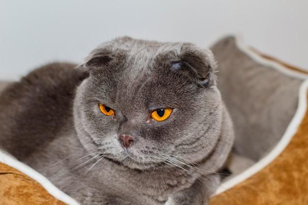 Il mio animale domestico amorevole e adorabile. un gatto scottish fold chiamato pelusi grigio e occhi arancioni. Foto Premium