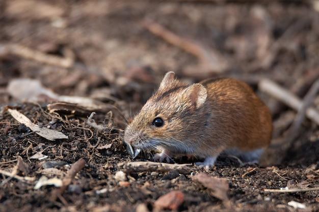 Il mouse da campo a strisce Foto Premium