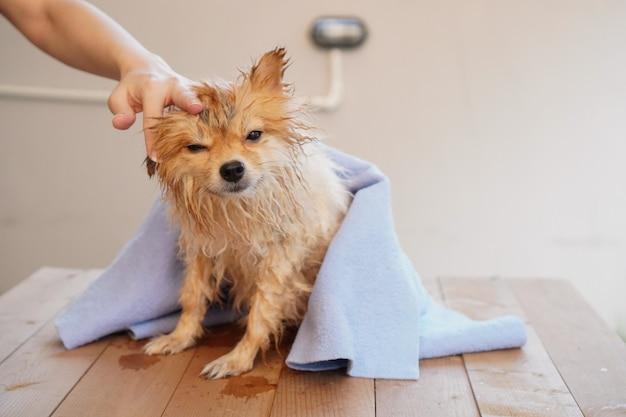 Il piccolo cane si siede su un tavolo di legno e asciuga i peli di cane con un panno assorbitore blu Foto Premium
