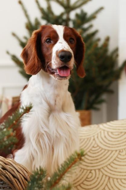 Il piccolo cane sveglio su un natale ha decorato il salone Foto Gratuite