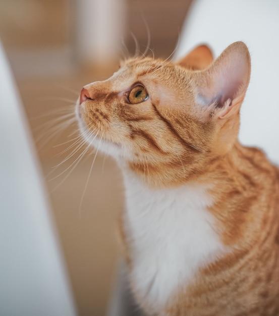 Il piccolo gatto sveglio dello zenzero che risiede nella coperta grigia a casa, si rilassa il tempo Foto Premium