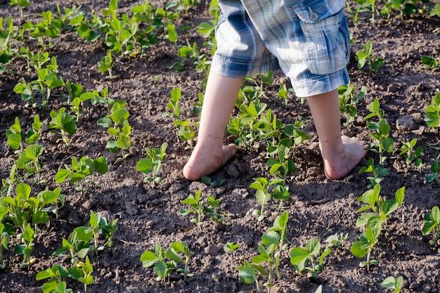Il ragazzo a piedi nudi sta camminando sulla crescita in un campo coltivato con germogli di soia Foto Premium