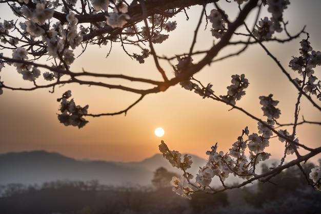 Il sorgere del sole delle prugne Foto Premium