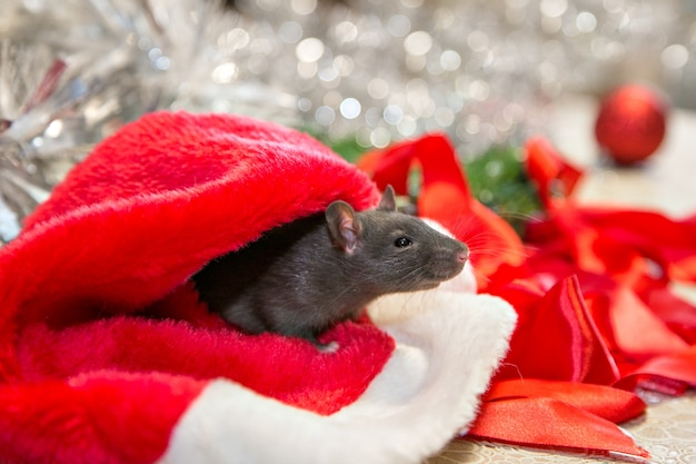 Il topo grigio cammina tra gli attributi di capodanno. l'animale si sta preparando per il natale. la celebrazione, i costumi, le decorazioni. simbolo dell'anno 2020. anno del ratto. iscrizione rossa 2020 Foto Premium