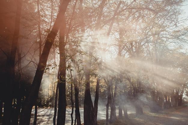 Il vecchio albero magico con il sole rays di mattina. foresta incredibile nella nebbia. Foto Premium