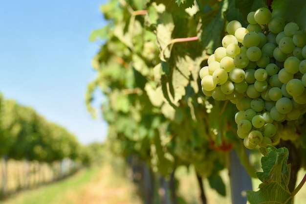 Il vino in vigna. regione vinicola della repubblica ceca della moravia meridionale. Foto Gratuite