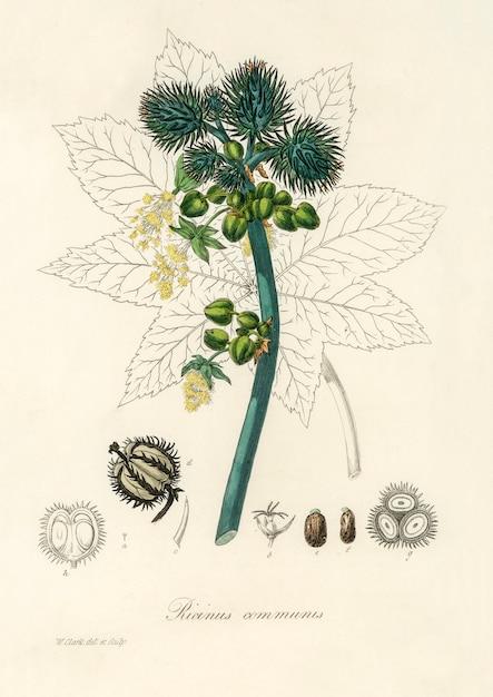 Illustrazione di olio di ricino (ricinus communs) dalla botanica medica (1836) Foto Gratuite