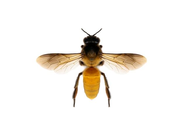 Immagine dell'ape o dell'ape mellifica isolata su fondo bianco Foto Premium