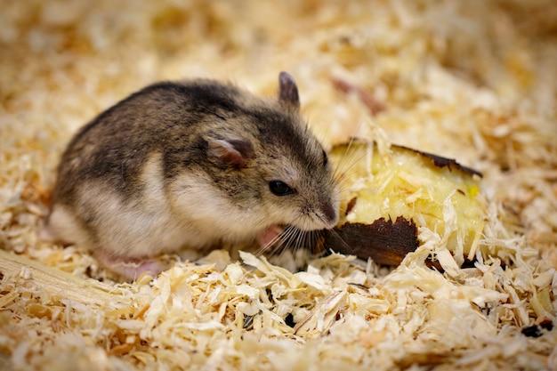Immagine di criceto mangiare cibo. animale domestico. animali. Foto Premium