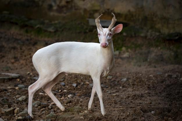 Immagine di un cervo che abbaia albino sulla natura. animali selvaggi. Foto Premium