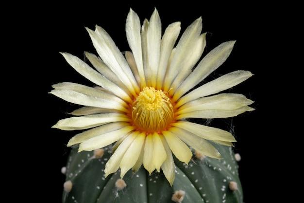Immagini di fiori di cactus bella fioritura in colorato. Foto Premium