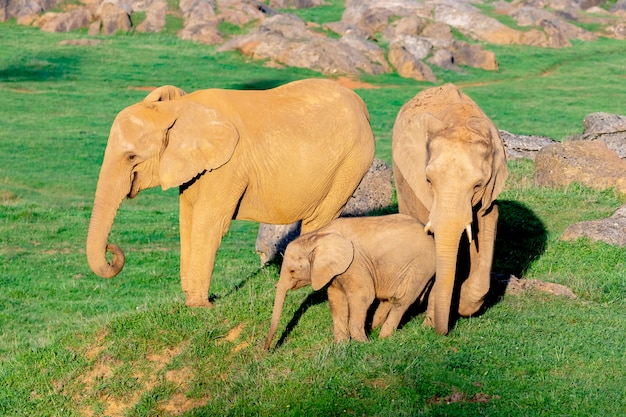 Incredibile famiglia di elefanti. mamma, papà e figlio Foto Premium